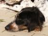 český strakatý pes, Antonie Barunidlo