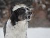 2017 1 Appia 1, český strakatý pes