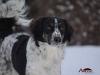 2017 1 Appia, český strakatý pes