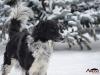 2017 1 Janek 2, český strakatý pes