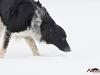 2017 1 Janek, český strakatý pes
