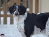 2017 1 Tessy 1, český strakatý pes