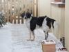 2017 1 Tessy, český strakatý pes