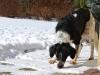 český strakatý pes 1