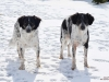 český strakatý pes 3