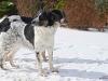 český strakatý pes 4