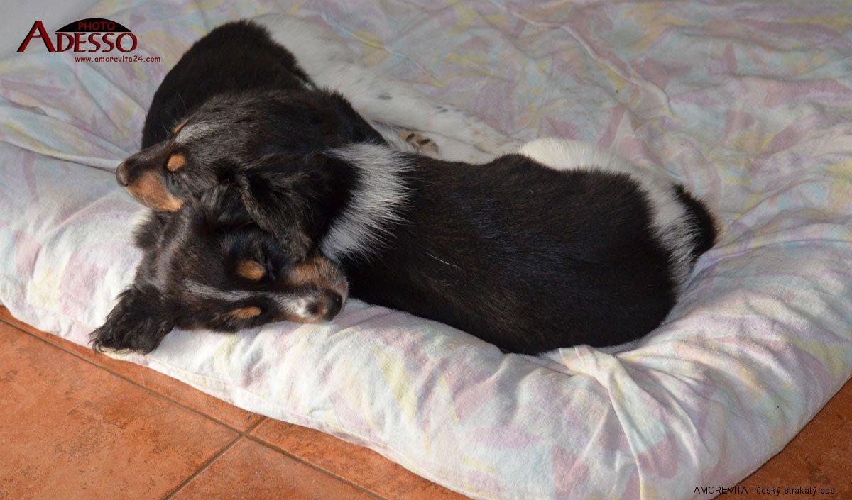 český strakatý pes, Birra Amorevita