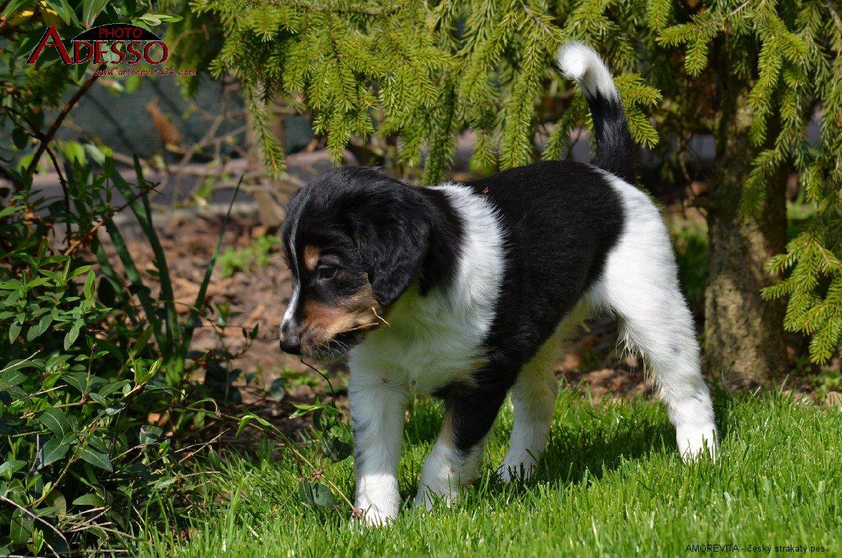 český strakatý pes